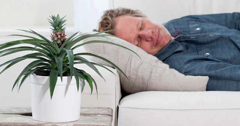 End Snoring Now by Sleeping With a Pineapple Plant